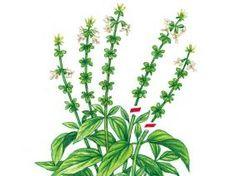 Plus de 1000 id es propos de potager au jardin sur pinterest l gumes culture et plates - Comment conserver du basilic ...