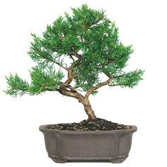 The Shimpaku Juniper Bonsai Tree is considered by many bonsai masters to be the finest and most attractive bonsai in existence. Many of the bonsai trees display in national competitions are Shimapku Junipers for they proudly display a dark green foliage that is rich in color and has the appearance and texture of a rope. This tiny bonsai will spice up your home decoration and give it an exotic feel! See more bonsai trees for sale at www.nurserytreewholesalers.com!