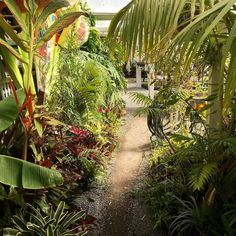 Come to our nursery and walk through the jungle. We are plant addicts and in some spots it's hard to walk through without getting slapped by plants. Features every Tuesday tag me or use #californiacarnivores to be eligible. #bacps #nature #carnivoroustagram #carnivorousplants by california_carnivores