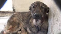 Unknown.  A5017318 My name is ROLLO and I'm an approximately 5 year old male German Shepherd. I am not yet neutered. I have been at the Carson Animal Care Center since 12\/6. I will be available on 12\/10. You can visit me at my temporary home at C347.\r\n<br><br>\r\nROLLO is an innocent, sweet, gentle soul that has been neglected and treated terribly by people. He needs help now to get a Home for the Holidays where he will be loved and spoiled. Please SHARE for his life, he...
