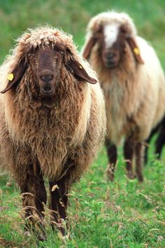 Living the wild life. (by Sharman Images (Dave Sharman)) Farm Animals, Animals And Pets, Cute Animals, Beautiful Creatures, Animals Beautiful, Animals Amazing, Baa Baa Black Sheep, Cute Sheep, Counting Sheep