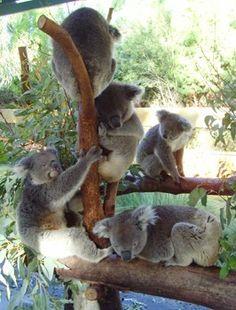 Koalas at Caversham Wildlife park in Perth, Australia