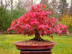 red_maple_Wallpapers_bonsai-4.jpg (1920×1440)