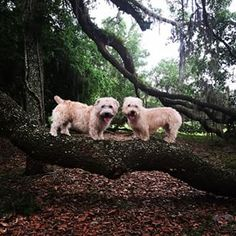 Right breed for you? Glen of Imaal Terrier information including personality, history, grooming, pictures, videos, how to find a Glen of Imaal Terrier and AKC standard.