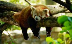 Red panda is sleeping. See my Animal Cartoons here https://www.pinterest.com/goldengalya/goldengalya/