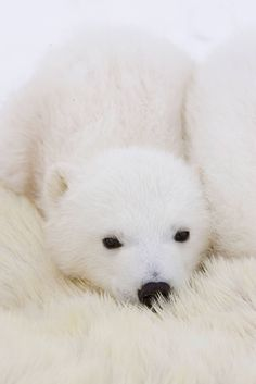 Three-to-four-month-old polar bear cub cuddling against mother's body while she is tranquilized by researchers, vulnerable, at Wapusk National Park, in Manitoba, Canada. #winter #animals #white// January