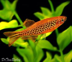 Danio sp aff kyathit - Fire Ring Danio, Redfin Danio