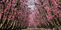 How to explore the Fresno Blossom Trail, especially during spring
