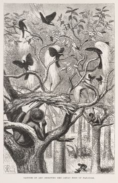 Alfred Russel Wallace's 1869, The Malay Archipelago, showing birds of paradise.
