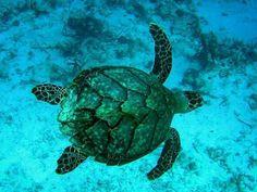 Fiji 2011 Endangered Species - Hawksbill Sea Turtle Taku and Reef ...