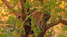 (7) Twitter National Geographic Wild, African Safari, Live, Twitter