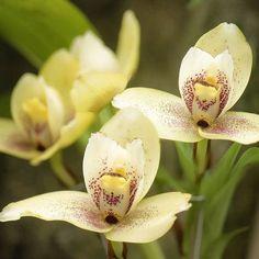 <i>Lycaste</i> - Amazingly Easy Orchid Variteies - Sunset