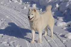 Dog, Husky Mountain Winter Savoie Snow Nature D American Staffordshire, Cairn Terrier, Bull Terrier, Cocker Spaniel Americano, White Husky, Snow Mountain, Picture Photo, Photo Cat, Art Pictures