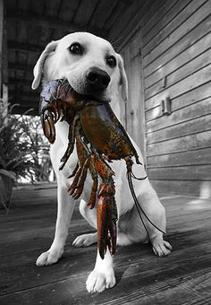 Oh, I've heard of retrievers but they usually drag back dead ducks.  Oh where can I get me a lobster hunter??? - p