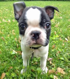 Tuxedo the Boston Terrier ::: So Cute, from The Daily Puppy. Lorr