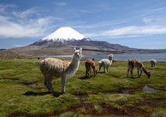 Llamas at Lake Chungara by Ebba Gregorsson Lundius on 500px