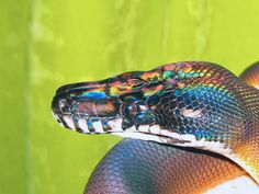 malformalady:  Opalescence visible on a White-Lipped Python(Leiopython d'albertis). These snakes are found in most of New Guinea. Associated with rain forests, cut-over clearings and swamps, they are usually found near water, into which they may quickly retreat if disturbed. The diet includes a range of small- to medium-sized birds and mammals. Photo by Sharon McKenzie/pitbulllady on deviantart