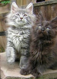 i love Maine Coon cats                                                                                                                                                                                 More
