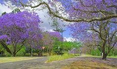 Jacaranda at The University of Queensland by UQ Centenary, via Flickr