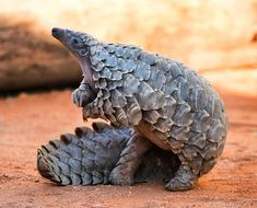17 Cute Pangolin Pictures that Show Why They Shouldn't be Eaten Animals And Pets, Baby Animals, Cute Animals, Reptiles And Amphibians, Mammals, Pangolin Pictures, Beautiful Creatures, Animals Beautiful, Dik Dik
