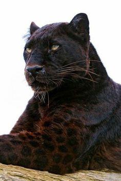 Wild cat!