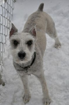 Check out Barton~handsome!'s profile on AllPaws.com and help him get adopted! Barton~handsome! is an adorable Dog that needs a new home. https://www.allpaws.com/adopt-a-dog/schnauzer-mix/778565