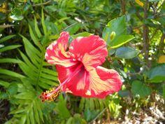 Red Hibiscus taken at National Tropical Botanical Gardens, Kauai, Hawaii by Marionette.  www.kauai-artist.net