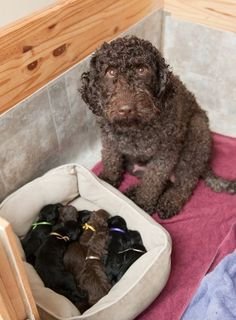 Proud Barbet Dog Mum And Her Puppies In 2020 Dogs Portuguese