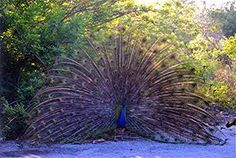 Now he or is it a she is something. I get the proud as a peacock from this one....should be proud!