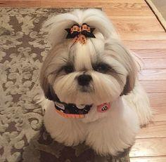Cute Baby Puppies, Shitzu Puppies, Super Cute Puppies, Baby Animals Super Cute, Cute Little Animals, Cute Funny Animals, Perro Shih Tzu, Shih Tzu Dog, Shih Tzus