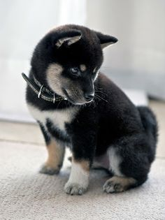 Shiba Inu puppy. I'm seriously thinking about getting a Shiba like this or a Blue Heeler