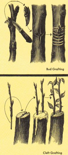 bud grafting and cleft grafting ~ Grafting means joining parts of two or more plants together so that they grow to be one plant. Grafting sometimes occurs naturally when two plants come in contact, but it is a common practice in orchards and other growing operations. A grower joins a cutting from one plant to a root, or to a stem bearing roots, of another plant. The part implanted is called the cion. The plant receiving the cion is the stock. The cion retains the characteristics of the ....