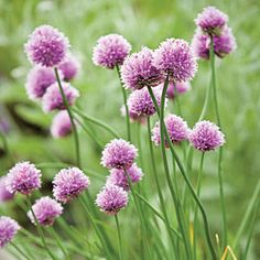 Allium tuberosum: Perrenial from Southeast Asia. Clumps of gray-green, flat leaves 1/4 in. wide, 1 ft. long or less. Abundance of 1 to 1 1/2 ft. tall stalks bear clusters of flowers in summer. Flowers have scent of violets, are excellent for fresh or dry arrangements. Leaves have mild garlic flavor, are useful in salads and cooked dishes.