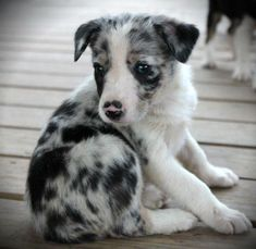 Blue merle border collie pup.