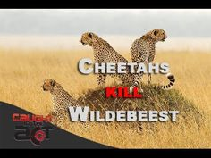Cheetah brothers kill Wildebeest [Caught in the Act RAW]