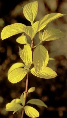 Golden redtwig dogwood (Cornus sericea 'Avalon Gold') --- puts on a show in all four seasons!