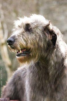 love irish wolfhounds!