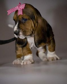 basset puppy princess
