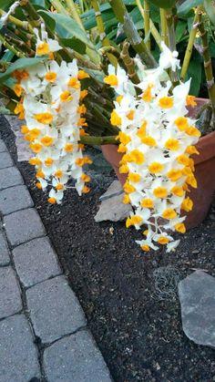 Orchid: Dendrobium