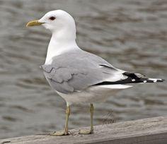 Common gull Fiskmås Kalalokki