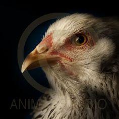 """""""La poule"""" est un portrait de gallinacé pris de 3/4 face dans une ambiance clair/obscure. Cette image à été associé au poème de David Strano."""