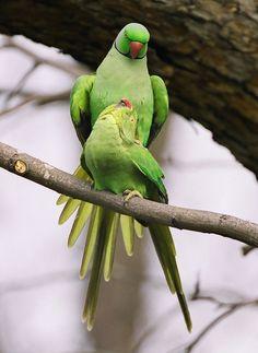 Rose Ringed Parakeet (Psittacula krameri)
