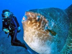 beautiful Mola-mola Fish in Bali  this looks huge and scary
