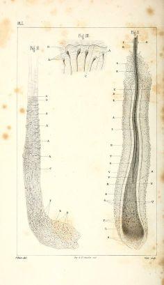 Leçons théoriques et cliniques sur les affections cutanées parasitaires professées par le docteur Bazin, 1858.