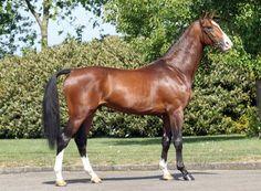 Dutch Warmblood - stallion Dantos HBC