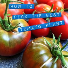 10 Tips for Picking the Best Tomato Plant this Weekend - Hope GardensHope Gardens