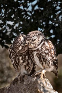 Owls giving kisses on the cheek. There are butterfly kisses. and eskimo kisses. are there OWL kisses.) owl kisses are the best. Animals And Pets, Funny Animals, Cute Animals, Animals Kissing, Beautiful Owl, Animals Beautiful, Owl Always Love You, Tier Fotos, Mundo Animal
