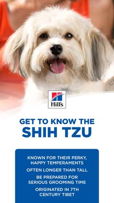 Shih Poo, Shih Tzu Dog, Best Dog Breeds, Best Dogs, Funny Animals, Cute Animals, Animal Antics, English Springer, Pet Furniture