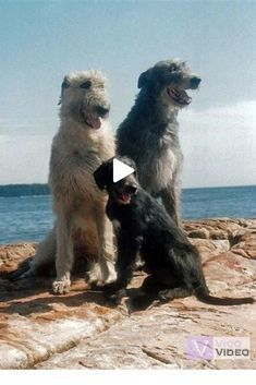 Irish Wolfhound family on the beach. Huge Dogs, Giant Dogs, I Love Dogs, Baby Dogs, Pet Dogs, Dogs And Puppies, Dog Cat, Doggies, Irish Wolfhound Dogs