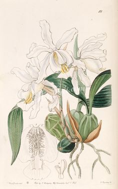 orchids-01400 Coelogyne cristata  botanical floral botany natural naturalist nature flowers flower beautiful nice flora plants blooming ArtsCult.com Artscult ArtsCult vintage printable public domain 300 dpi commercial use 1800s 1700s 1900s Victorian Edwardian art clipart royalty free digital download picture collection pack paintings scan high qulity illustration old books pages supplies collage wall decoration ornaments Graphic engrav